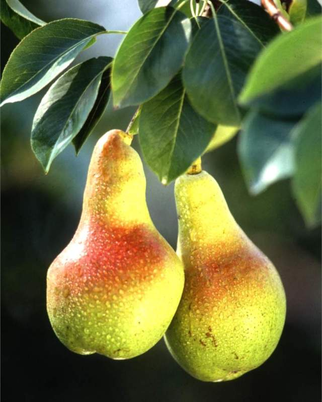 pear-fruit